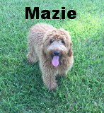 mazie-is-molly-dee-and-chewys-girl_28743213416_o