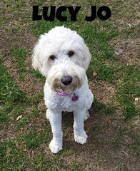 lucy-jo-standard-goldendoodle_25083748731_o