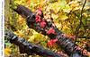 Fallen Tree, Virginia Creeper & Wild Grapes