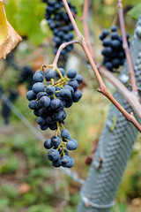 Herbst - Zeit des Weins. Autumn - time of wine