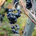 Herbst - Zeit des Weins. Autumn - time of wine