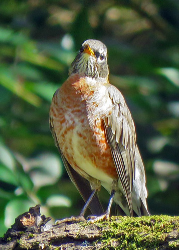 American Robin (f)