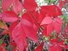 UK - Berkshire - Pangbourne - Red leaves