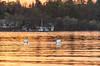Swans on Golden lake