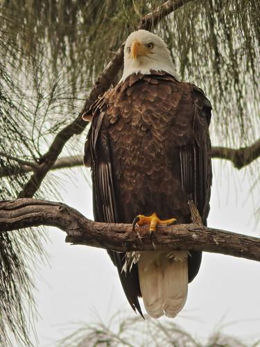 Bald Eagle female 04-20201022
