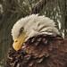 Bald Eagle female 07-20201022