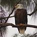 Bald Eagle female 08-20201022