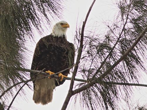 Bald Eagle male 01-20201022