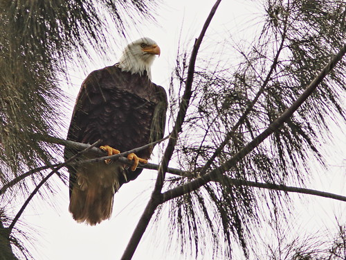 Bald Eagle male 02-20201022