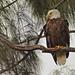 Bald Eagle female 06-20201022
