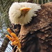 Bald Eagle female DETAIL 01-20201022