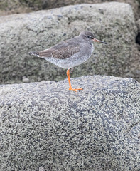 Photo of Redshank sheltering in the rocks