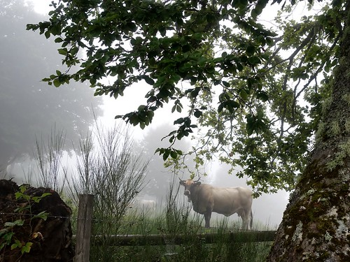 Un taureau qui a l'air vache !