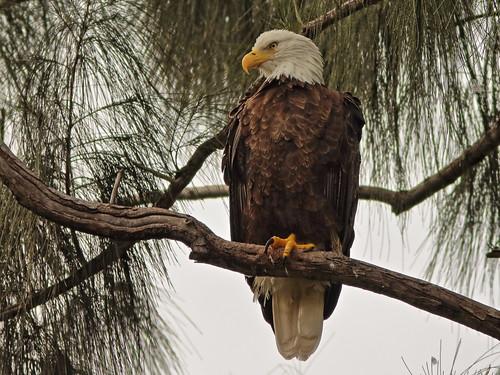 Bald Eagle female 03-20201022