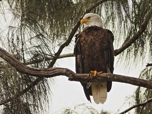 Bald Eagle female 05-20201022