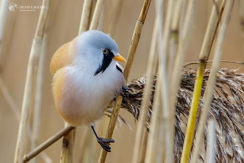 Bearded tit - male