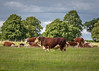 Hereford Cattle at Belvoir Castle Estate, Leicestershire