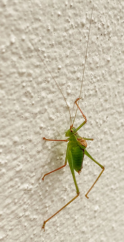 Speckled Bush Cricket (iPhone)