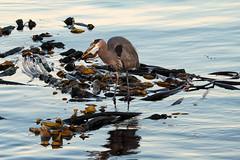 20201022 Oak Bay Heron