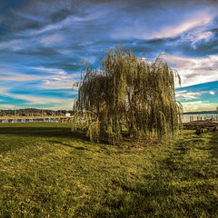 Silverdale Park Tree 1