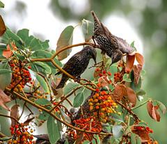 Arbutus Berries In The Fall