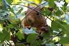 Red Squirrel enjoying the Hawthorn Berries
