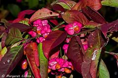 Photo of Spindle Tree Berries - Euonymus europaeus