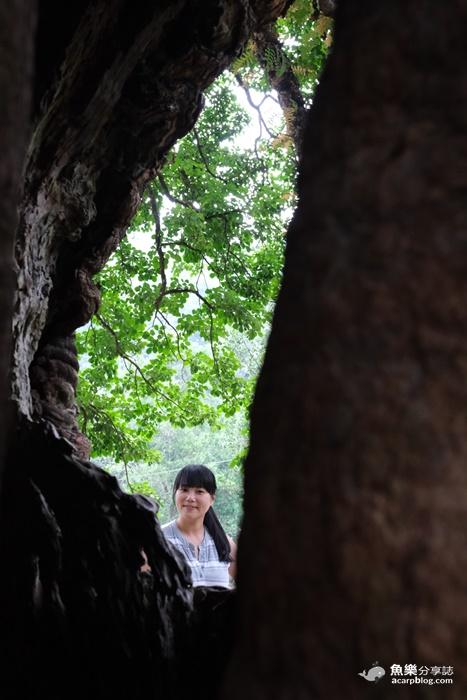 【南投國姓】茄苳神木|300年老樹洞看見台灣 @魚樂分享誌