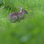 Rabbit in a forest footpath