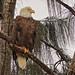 Bald Eagle female 04-20201025
