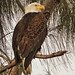 Bald Eagle male 03-20201025