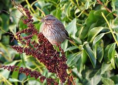 20201022 Oak Bay Song Sparrow