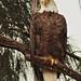 Bald Eagle female 05-20201025