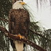 Bald Eagle female 06-20201025