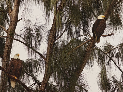 Bald Eagles female and male 01-20201025