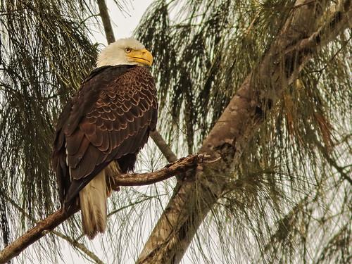 Bald Eagle male 01-20201025