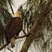 Bald Eagle male 02-20201025