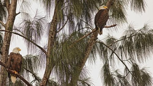 Bald Eagles female and male 02-20201025