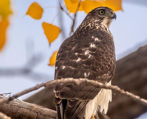 Cooper's Hawk - Charlotte Beach - © David Laiacona - October 24, 2020