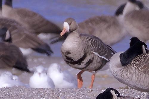 Greater White-fronted Goose - Hamlin Beach Park - © Jeanne Verhulst - October 24, 2020