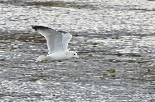 Ring-billed Gull - Northrup Creek - © Candace Giles - October 24, 2020