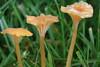 Orange Mosscap (Rickenella fibula)