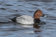 Photo of Pochard