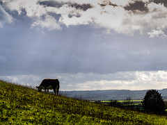 Photo of Hereford cow on Round Hill
