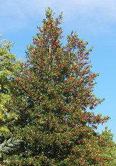 Photo of Red berries, almost a self-decorating Christmas tree