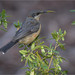 Eastern Spinebill: On Correa