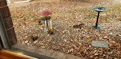 October 20, 2020 - Squirrels and birds take advantage of a feeder. (David Canfield)
