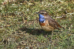 Photo of White-spotted Bluethroat-7D2_3708-001