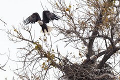 October 24, 2020 - Bald eagles work on a home. (Tony's Takes)