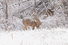 October 25, 2020 - Deer weather the snow. (Tony's Takes)